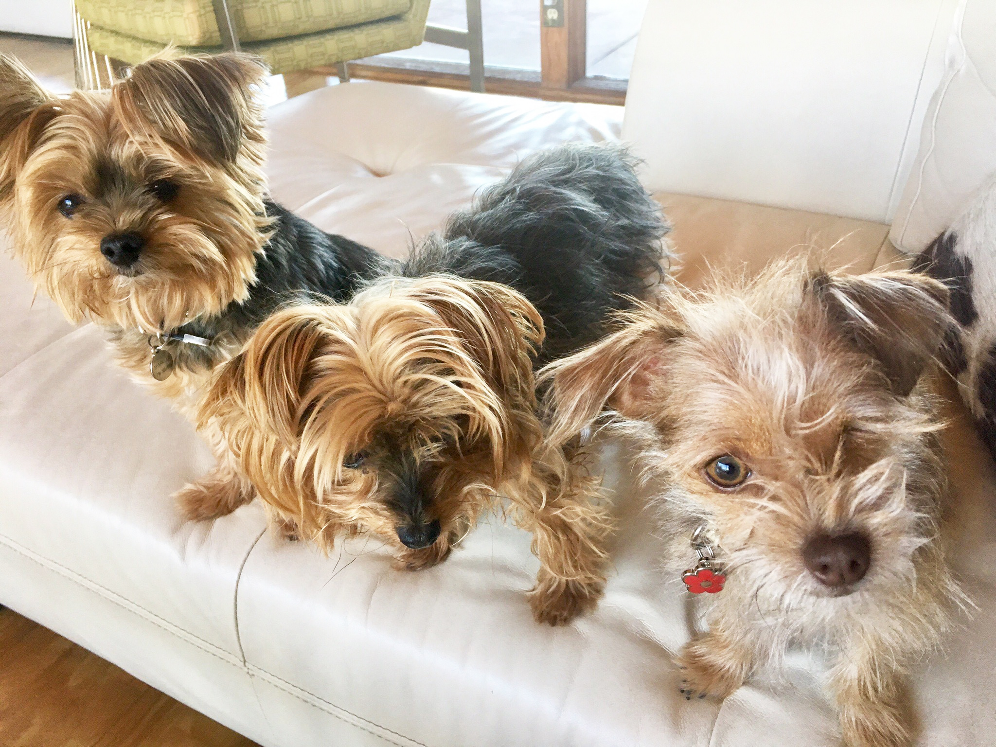 Sullivan Pack: Submitted by Andrea Sullivan The Sullivan Pack! Yorkies Fiji and Sparkles and their sister Olive, a Terrier Mix, enjoy life with the Sullivans.