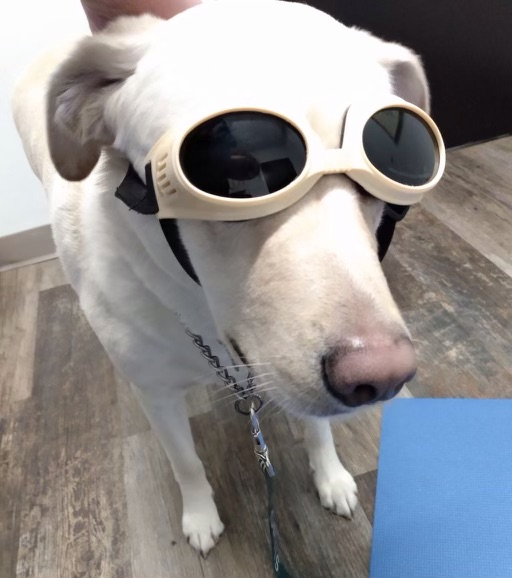 The Hollifields' lab-golden retriever, Beau, wears protective goggles while getting laser therapy for his injured ACL.