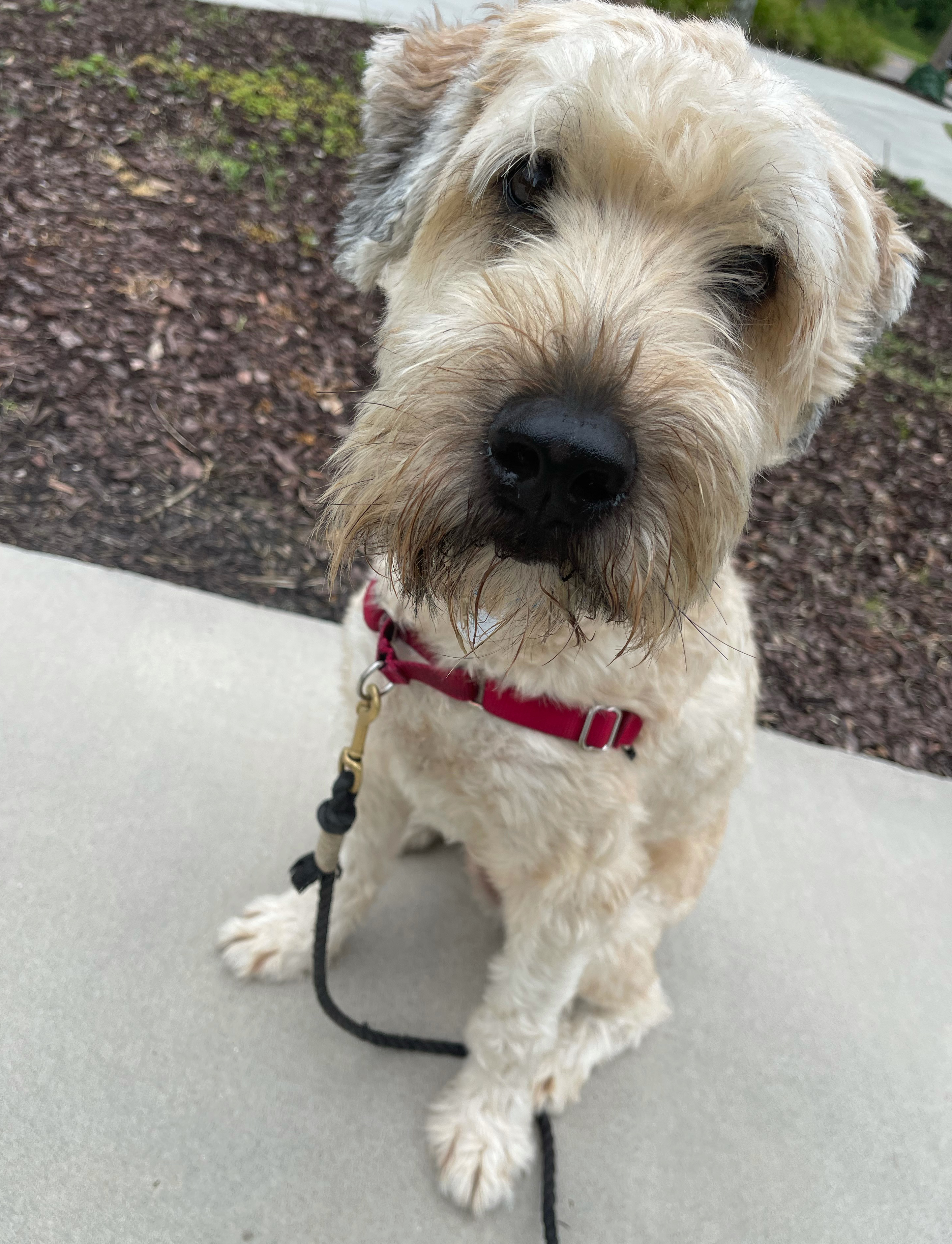 """Jerry is a 3-year-old soft coated Wheaten terrier named after Jerry Garcia. His owner, Morgan Waters, said """"This little dude is a mama's boy who loves to make new puppy friends and will do anything for a piece of cheese."""""""